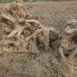 無農薬米の藁 11月2日引き渡し限定