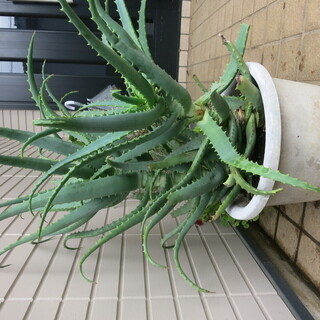 キダチアロエ鉢底から60~70cm 2苗鉢ごと