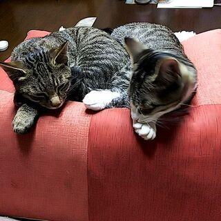 生後5ヶ月の兄弟子猫です