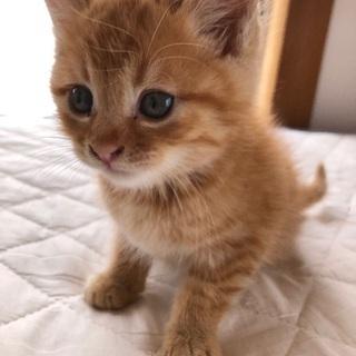 茶トラの生後3カ月(メス)☆10/27投稿の茶白オス子猫の兄妹です!