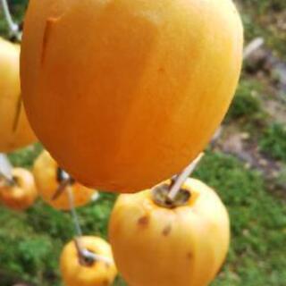 干し柿の作り方講座。