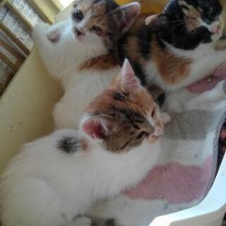 三毛 生後2ヶ月 女の子  3匹里親募集