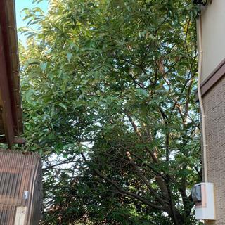栗の木 4m 大実 品種不明