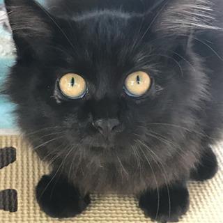 ふわもこ黒猫4カ月 オス
