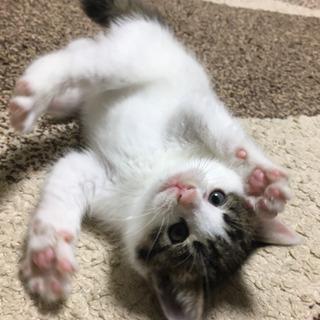 商談中 生後2ヶ月 メス猫  里親募集!