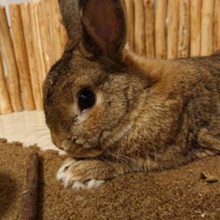ウサギ(ネザーランド)メス