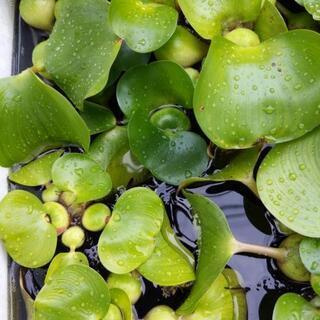ホテイ草2〜3個 メダカの水草