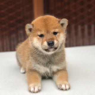 柴犬 赤 大特価