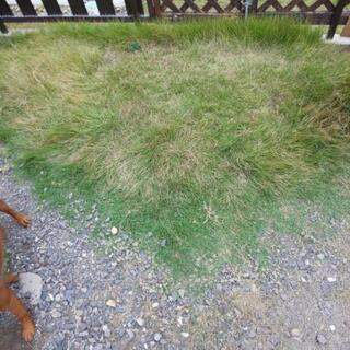 芝生おすそわけします