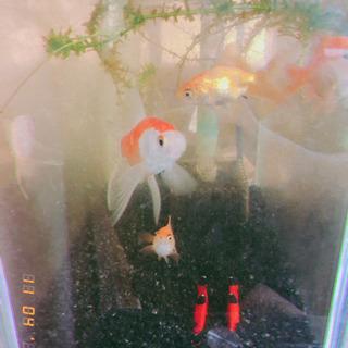 金魚 コメット 5匹
