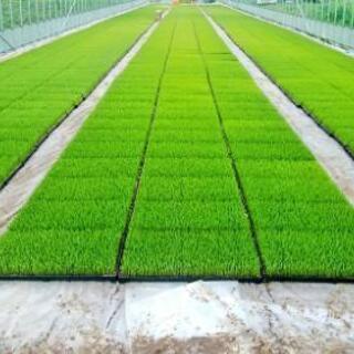 茨城県産 ミルキークイーン 玄米10kg