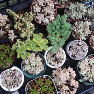 多肉植物 ポット苗