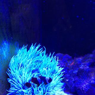 海水魚  シライトイソギンチャク