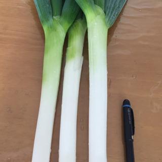 太ネギ  3本 (鍋に最適な一本葱です)  オマケ付き!の画像
