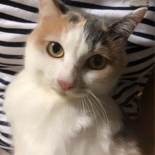 まんまる顔・パステル三毛猫♪コロコロ♪2歳