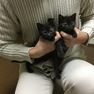 黒の兄弟子猫の里親様を募集しています