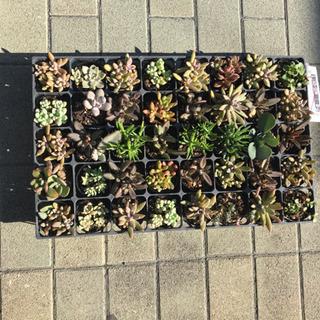多肉植物40種