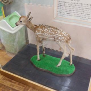 仔鹿の剥製