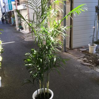 観葉植物 セフリジ
