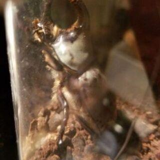 グラントシロカブト 幼虫5匹セット