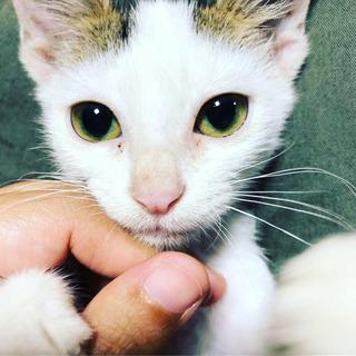子猫の兄弟(4ヶ月くらいのオス) - 猫