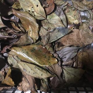 柿の枯れ葉 30枚 250円 メダカの隠れ家 冬越しに‼️…