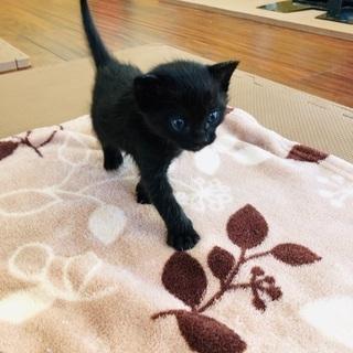 黒猫子猫女の子1ケ月2匹
