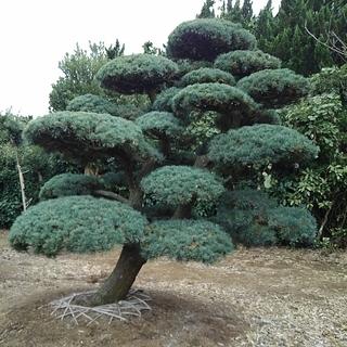 五葉松 移植物 仕立物 植木 庭木 造形 公園 庭園 会社 記念...
