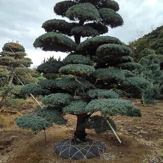 根巻き済み 五葉松 即納対応可能 仕立物 植木 庭木 造形 公園...
