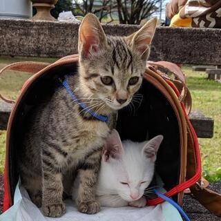 生後2ヶ月の可愛い猫をどなたかもらってくれませんか?