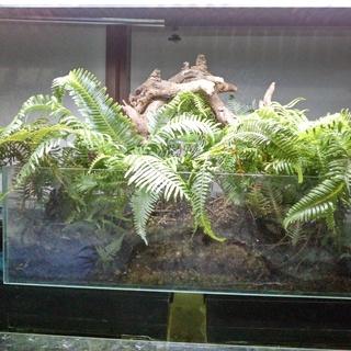 クジャクシダと流木のシダリウム 観葉植物 シダ 流木 テラリウム