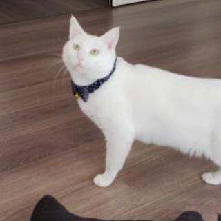 ★お話中★里親さん費用負担なし!綺麗な若い白猫ちゃん里親さん募集...