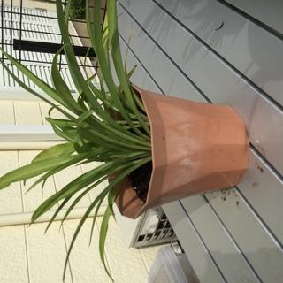 外置き用 観葉植物 オリヅルラン