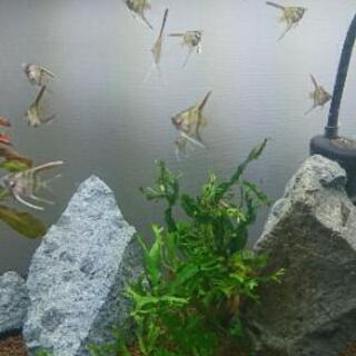 エンゼルフィッシュ  ミックス  稚魚