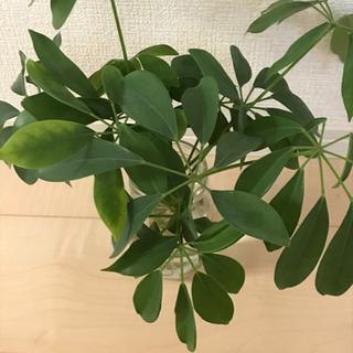 観葉植物 シェフレラ