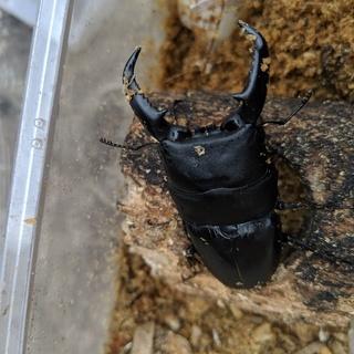 タカラヒラタ 初齢・2齢 幼虫