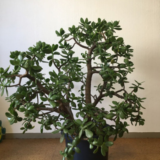 観葉植物 多肉植物 金のなる木 花月 90