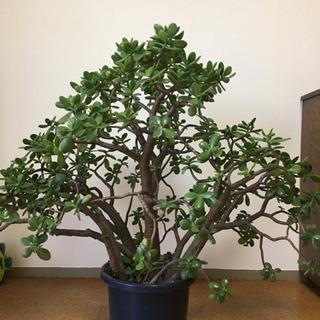 観葉植物 多肉植物 金のなる木 花月