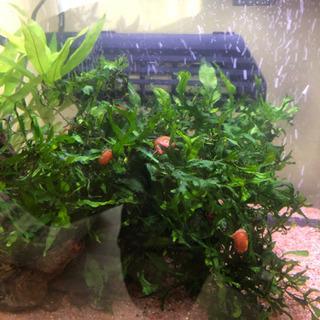 ヒラマキ貝&水草小分けセット🐠熱帯魚水槽などに👍 - 和歌山市