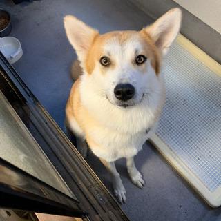 秋田犬と?のMIXの♀生後11ヶ月