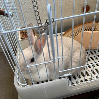 ミニウサギ ♀生後1歳