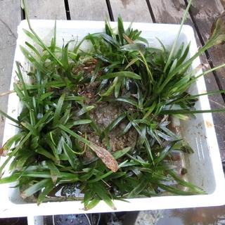 ナガバオモダカ/水生植物(アクアリューム)白い小さな花が咲…