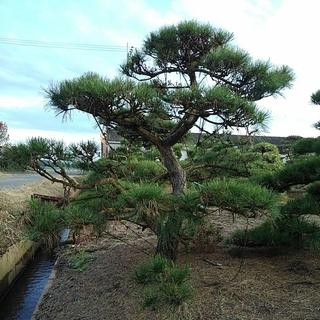 赤松 アカマツ 自然形 仕立物 植木 庭木 造形 公園 庭園 会...