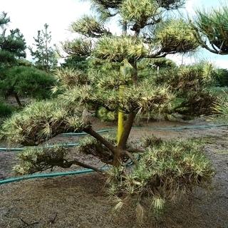 蛇の目松 ジャノメ松 盆栽型 仕立物 植木 庭木 造形 希少 庭...