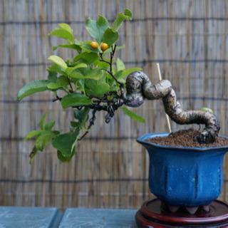 【盆栽】ツルウメモドキ 小品盆栽