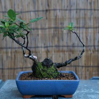 【盆栽】ピラカンサ 小品盆栽