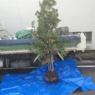 ソヨゴ 2.0m〜2.5m 庭木 植木 植栽 シンボルツリー