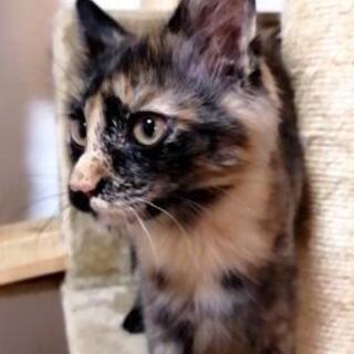 3ヶ月 サビ猫 やや長毛 ちょーひとなつこい