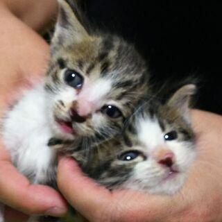 子猫2匹☆家族に迎えてください。※追加募集