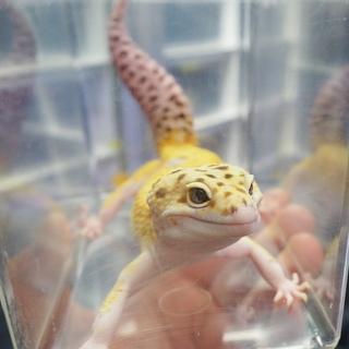 デグー販売 レオパ販売 その他小動物・爬虫類 エキゾチックアニマル販売